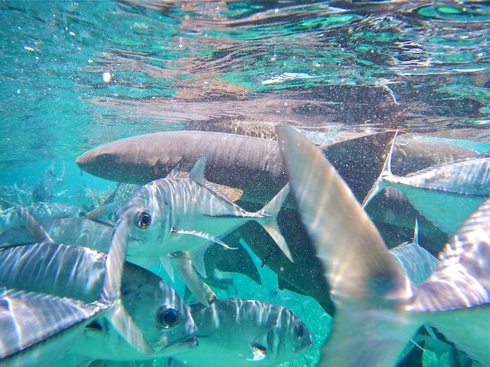 Caye Caulker snorkeling Belize sharks aroundtheworldwithjustin.com