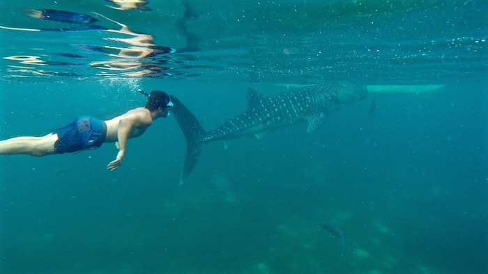 Swimming with Oslob whale sharks Philippines aroundtheworldwithjustin.com