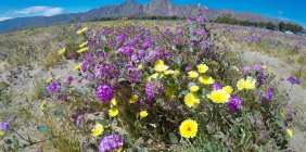 11 Super Photos from Super Bloom Anza Borrego