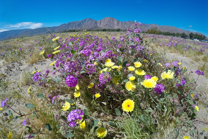 anza borrego desert state park super bloom