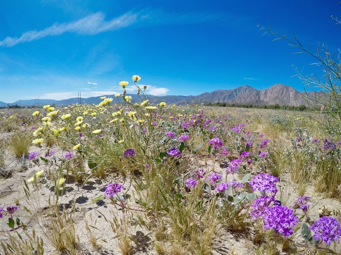 anza borrego desert state park super bloom borrego springs california travel blog blogger justin walter atwjustin.com