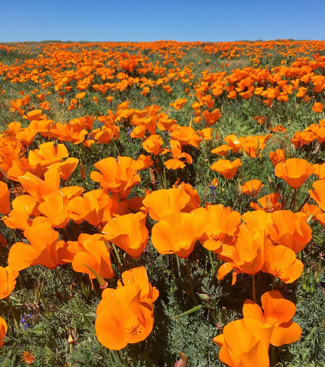 Antelope Valley California Poppy Reserve Super Bloom