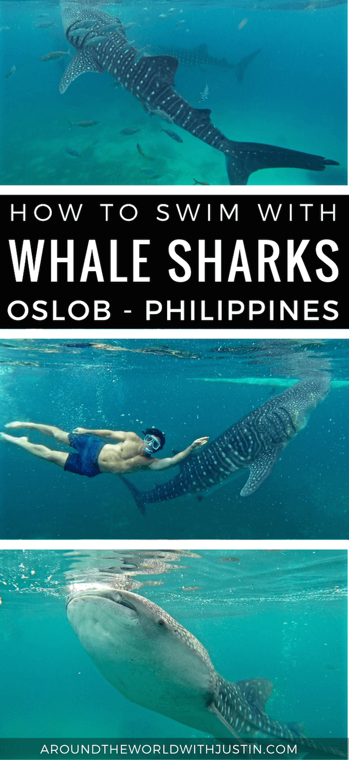 Do you want to swim with whale sharks? Learn how to in Oslob Philippines on Cebu Island.