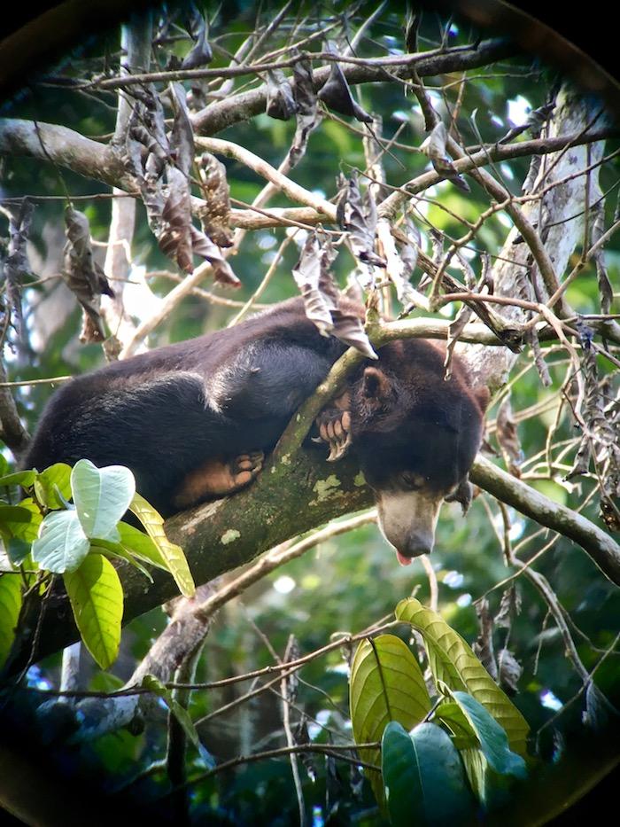 10 Ways to Discover Sabah Malaysia Borneo Borean Sun Bear Conservation Centre