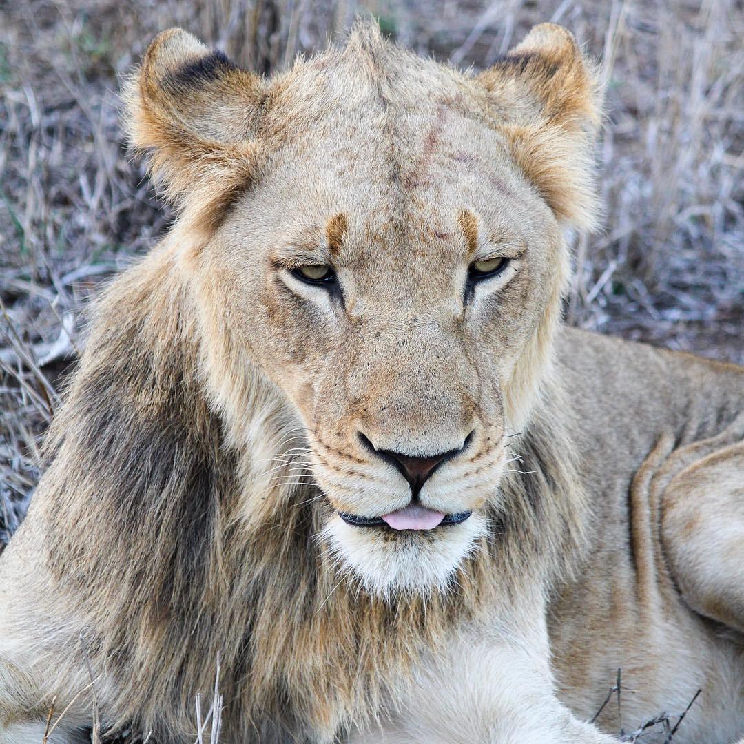 Sabi Sabi Private Game Reserve South Africa lion