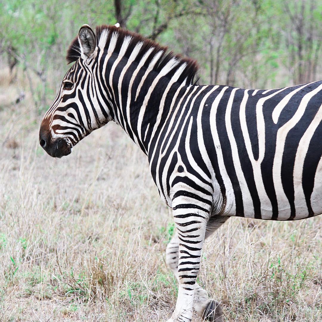 Sabi Sabi Private Game Reserve South Africa zebra