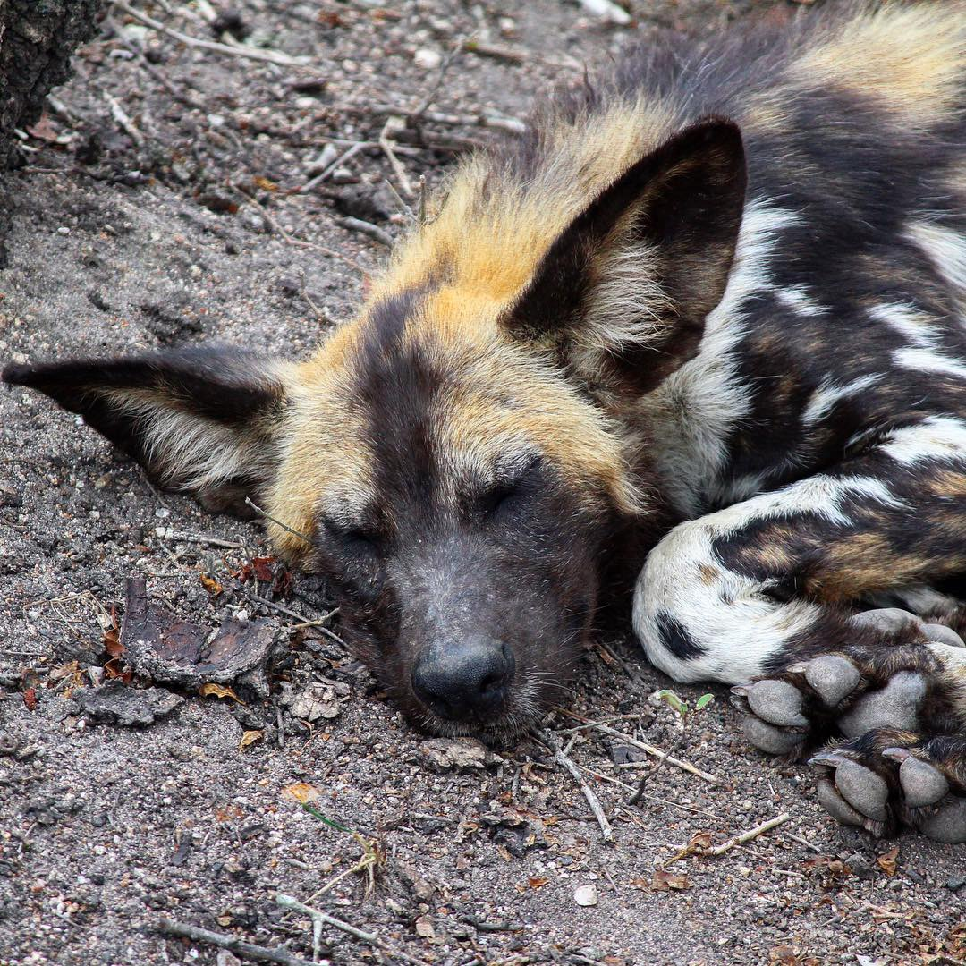 Sabi Sabi Private Game Reserve South Africa African wild dog