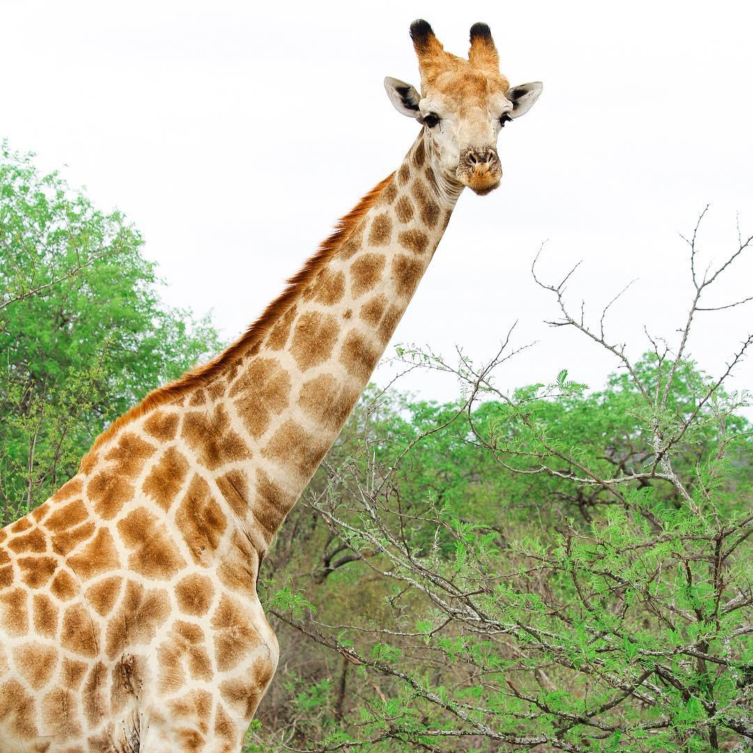 Sabi Sabi Private Game Reserve South Africa giraffe
