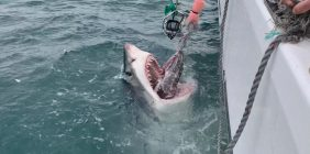 Great White Shark Cage Diving with White Shark Africa
