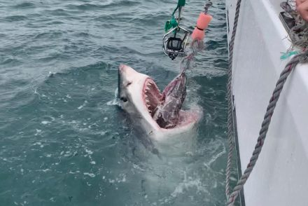 great white shark africa cage diving south africa mossel bay